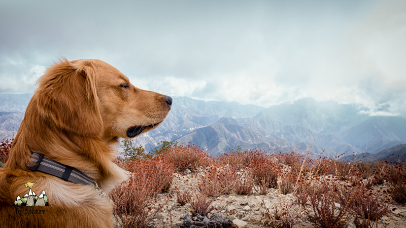 mountaintop dog